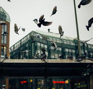 répulsif-pigeon