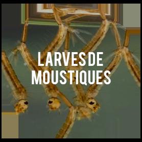 larve moustiques visuels blog arsenal solution. Black Bedroom Furniture Sets. Home Design Ideas